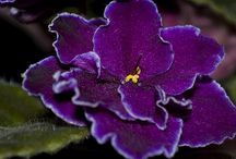 All about Violets / For the love of African Violets; all things new shared and creative. / by beverly palmer