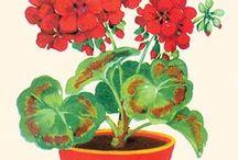 geranium-muskátli