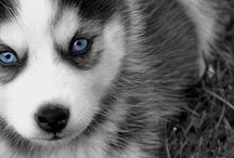 Husky / They are beautiful dogs and so cute too!!!!