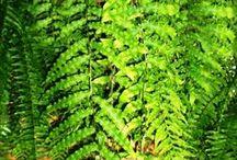 verdes...samambaias