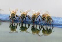 Pszczoły/Kury