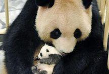 Pandácskák