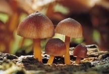 Mushroom - Jamur