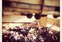 Appassimento/Drying process / L'appassimento per la produzione dei vini Amarone e Recioto della Valpolicella Classico DOCG: