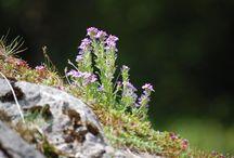 fleurs des montages / toutes plantes et fleurs