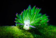 Nudibranch addict !