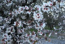 Almond Bloom / Photos of almond blossoms. / by California Almonds