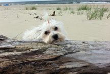 pies maltańczyk :)