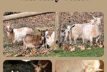 My Goat Babies