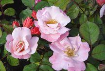 Le rose di Rosi