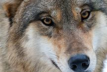 Wolves / Dogs / by Deborah Rieger