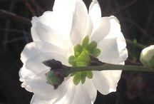Peach blossom / Peach blossom in the sunlight