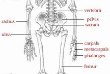 human skeletal anatomy