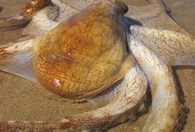 caracatite