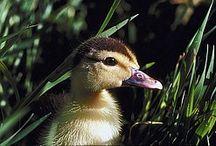 Birds: Ducks for Preschool / by Debbie Jackson