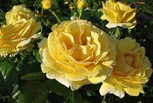Rózsát a Rózsának...