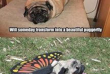 Pugs are the best