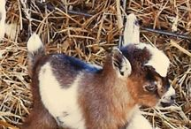 Baby Goats..awww