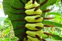 caterpillars
