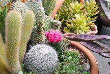 cactus hector