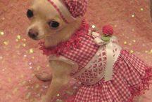 Cachorros Chihuahua accesorios