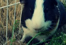 Guinea Pig Pictures / Cute guinea pig pictures. Adorable guinea pig picture. Lovely guinea pig pictures. Funny guinea pig pictures. Handsome guinea pig pictures.