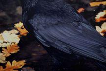 Ravens /Crows