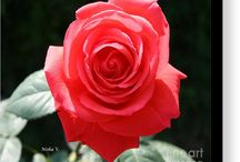 Gorgeous Rose!