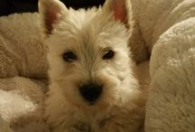 Scottish Terrier Puppies / Adorable Scottish Terrier puppies at Southern Scotties in Amite, LA.