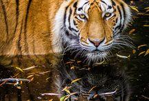 Tigers <3 <3