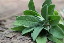 Beneficios de la Salvia.