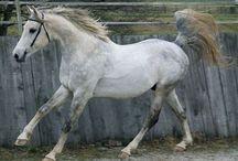 L'Arabe Shagya / Le chef de lignée de l'Arabe Shagya est un étalon Arabe gris de grande taille en provenance de la Syrie et qui se nommait Shagya. Il a été croisé avec des juments locales et aussi orientales. Il a également reçu du sang de Lippizan et de Pur Sang. L'Arabe Shagya a longtemps été réputé pour ses qualités de cheval militaire.