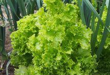 Gardening- Lettuce