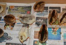 Chicken Islandshøns