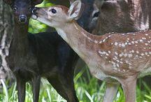 Deer Inspiration