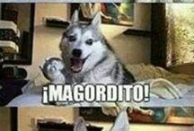 Perro husky
