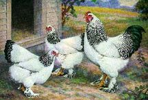 Heritage Poultry Art & Illustrations / These are breeds of poultry that are perfect for backyard poultry enthusiasts and small hobby farmers.  Many are rare and in danger of being lost if they don't continue to be raised and enjoyed.   All of these are available from hatcheries but in limited quantities.