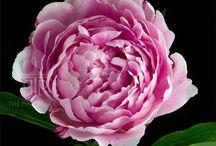 Vaaleanpunaiset Pionit