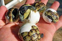 Želvičky