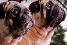 Pug Love / Oh my goodness, I love pugs! Miss my sweet Moby.