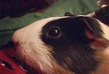 New Guinea Pig Owner / Everything you need to know as a new guinea pig owner.