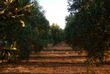 OliveGrove / Our Olive Grove