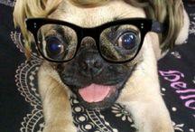 Monroe the Pug
