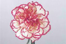 Carnations / Different varieties of fresh cut Standard Carnations specifically grown for the wholesale flower trade. Often known as Dianthus.