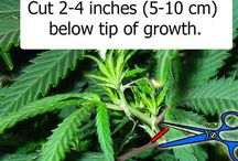 How to Clone Marijuana / View entire picture tutorial on marijuana cloning: http://growweedeasy.com/complete-guide-cloning-marijuana / by Nebula Haze
