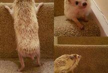 hedgehogs♡
