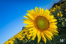 Umbrian Sunflowers 2015