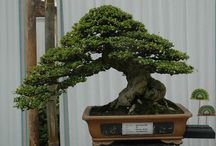 bonsai jadi