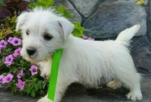 West Highland Terriers / http://www.buckeyepuppies.com/puppies-for-sale-bep/west-highland-white-terrier