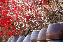 เทศกาลชมดอกบ๊วยนานาชาติที่กวางยาง (Gwangyang International Maehwa Festival)